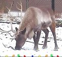 Photo for REINDEER CAM